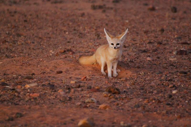 Fennec Dakhla Rovers desert Sahara