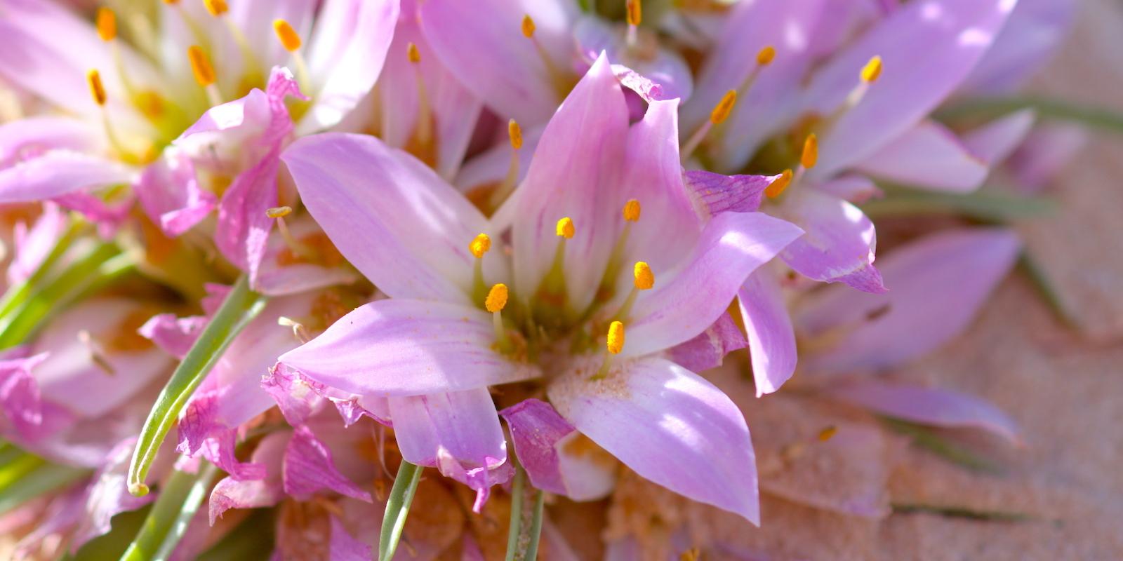 Dakhla Rovers Sahara dunes flowers